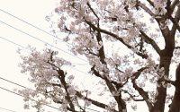 桜が咲きました!マツエク春のつけ放題実施中☆~川口~
