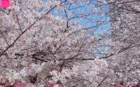 【Blanc富山CIC店】目黒川の桜☆お花見 アイリストの休日♪ マツエク